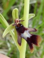 ophrys insectifera - ophrys mouche