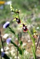 Ophrys mouche - Ophrys insectifera