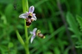 Ophrys scolopax (1)