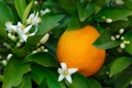 Orange douce - Citrus sinensis
