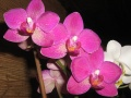 Orchidées  Phalaenopsis roses