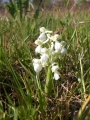 Orchis blanc