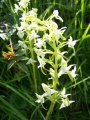 orchis chlorantha custer