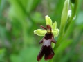 ophrys mouche