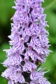 Orchis dactylorhiza maculata.