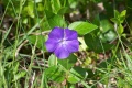Vinca major (grande pervenche)