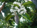 (photo 1/2) Ehretia cymosa
