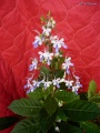 (Photo n°2) Clerodendrum myricoides