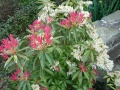 "Pieris ""Forest Flame"""