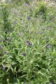Anchusa officinalis, Buglosse officinale
