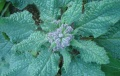 bourrache(borago officinalis)