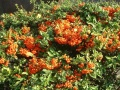 pyracantha garni de fruits