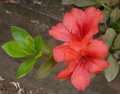 Rhododendron sp.
