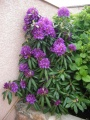 rhododendron pourpre
