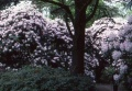 Rhododendrons..toujours.