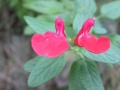salvia microphylla grahamii