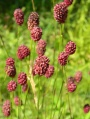 Sanguisorba officinalis - Pimprenelle officinale
