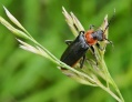 Cantharide commune,Cantharis fusca.