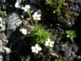 Saxifrage androsace