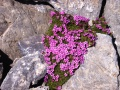 Androsace alpine