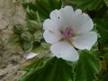 Althaea officinalis ou guimauve