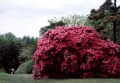 suite rhododendrons..