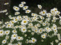 Un bouquet de marguerites