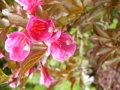 weigela wine and roses